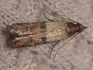 Indian Meal Moth (Plodia interpunctella).