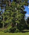 Podocarpus elatus habit.jpg