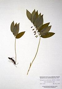 Polygonatum pubescens BW-1979-0522-0414.jpg