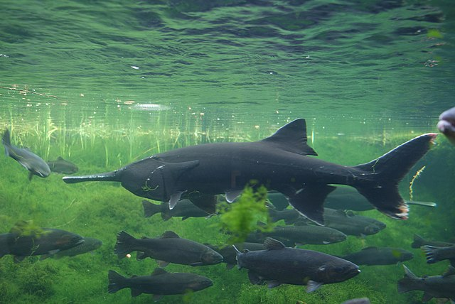 American paddlefish swimming among other fish