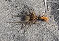 Pompillid wasp, Cryptocheilus australis on sand dune near Te Kaha Point.JPG