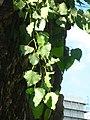 Populus-nigra-08-VII-2007-082.jpg