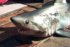 Porbeagle - The streamlined shape and long gill slits of the porbeagle are adaptations for a fast, active lifestyle.