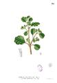 Portulaca axilliflora Blanco1.165.png
