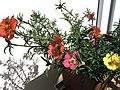 Portulaca grandiflora.jpg