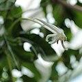 Posoqueria longiflora-IMG 3454.jpg