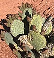 Prickly Pear in Calico Hills Las Vegas.jpg