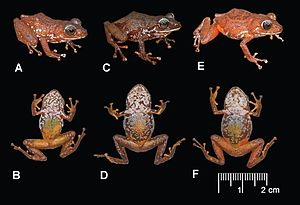 Pristimantis jamescameroni - Male (left) and two females, showing variation in dorsal and ventral coloration