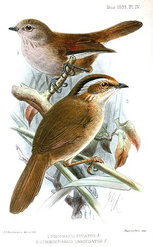 Rusty-capped fulvetta - Rusty-capped fulvetta (foreground) with Fulvetta cinereiceps.