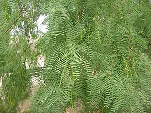 Prosopis glandulosa - Foliage with seedpods