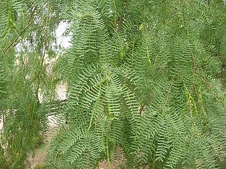 Prosopis glandulosa - Foliage with seedpods