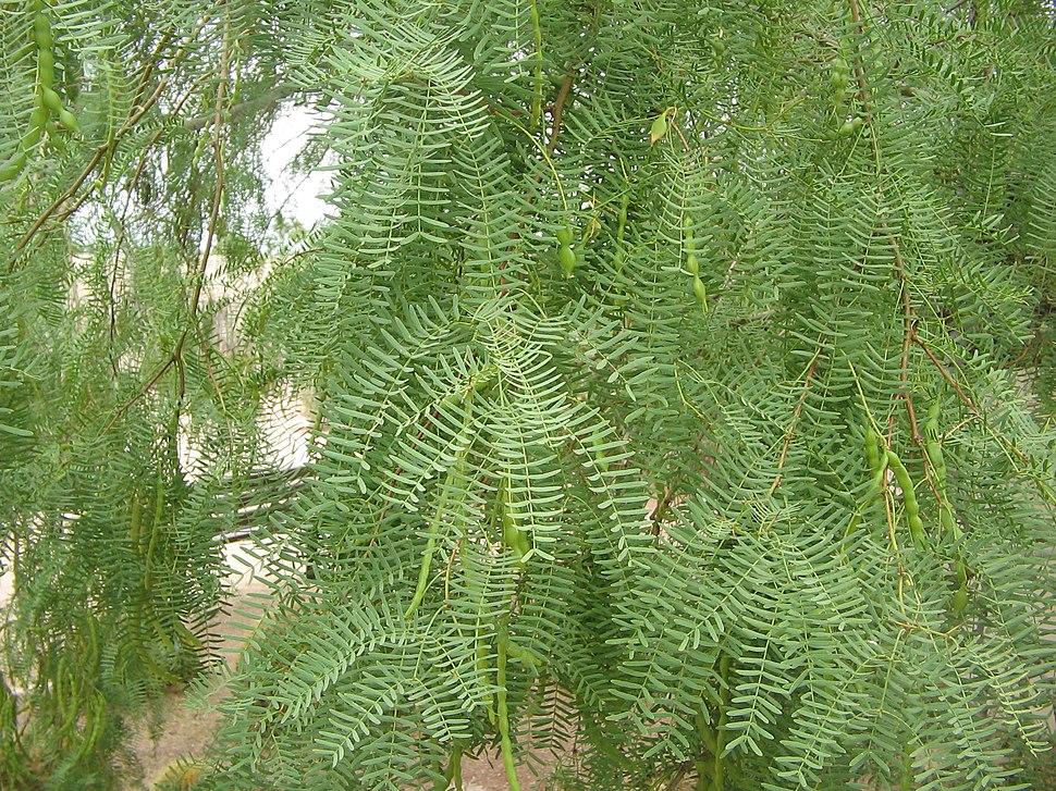 Prosopis-glandulosa-foliage