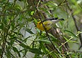 Prothonotary Warbler (34833587855).jpg
