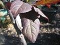 Prunus cerasifera Thundercloud 5zz.jpg