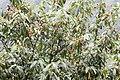 Prunus laurocerasus - Taflan, Giresun 2017-07-05 01-5.jpg