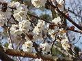 Prunus mume7.jpg