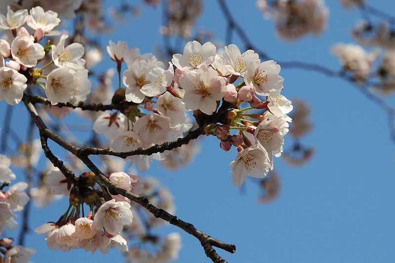 File:Prunus serrulata 2005 spring 012.jpg