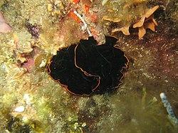 Planaire noire, en Méditerranée
