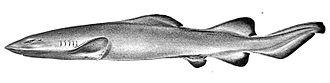 Carcharhiniformes - Image: Pseudotriakis acrales by jordan and snyder
