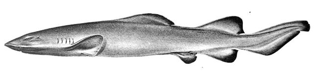 Sofa Shark 640px-Pseudotriakis_acrales_by_jordan_and_snyder