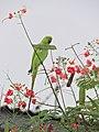 Psittacula krameri krameri, Ikeja, Lagos, Nigeria 2.jpg