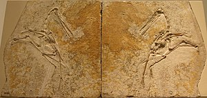 Compression fossil - Counter slab (left) and slab (right) of Pterodactylus