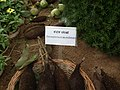 Pterospermum ascerifolium from Lalbagh flower show Aug 2013 8151.JPG
