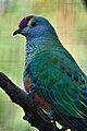 Ptilinopus regina -Taronga Zoo, Sydney, Australia-8a.jpg