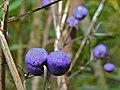 Purple Berry (Id?) (8407969737).jpg