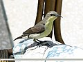 Purple Sunbird (Cinnyris asiaticus) (15707334399).jpg