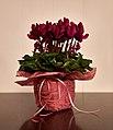 Purple cyclamen in a pot.jpg