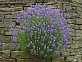 Purple flowers, Old Lane, Luddenden.jpg