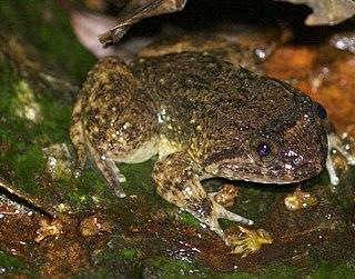 <i>Quasipaa verrucospinosa</i> Species of frog