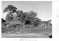 Queensland State Archives 4442 Wandoan Lands clearing with two tractors and wire rope 1952.png