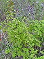 Quercus canariensis x Q. pyrenaica sprout 2010-5-08 DehesaBoyaldePuertollano.jpg