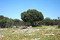 Quercus coccifera - Kermes Oak -3.JPG