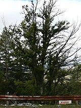 Quercus thracica1.JPG
