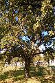 Quercus trojana7.jpg