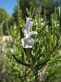 Rósmarín (Rosmarinus officinalis) 002.jpg