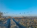 RIVER TRENT PATH, CANADIAN GEESE. - panoramio.jpg