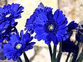 RS-bluegerbera2.jpg