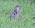 Rabbit trying to Hide (30561944743).jpg