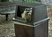 Raccoons are clever at finding food.