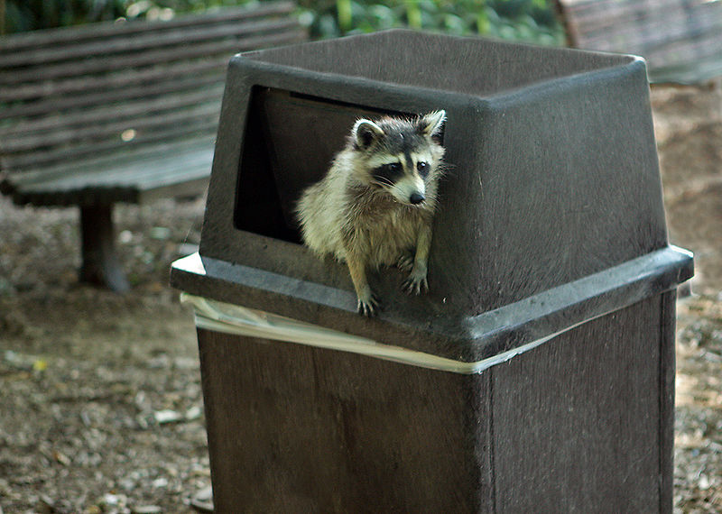 File:Raccoon getting in trouble.jpg
