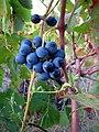 Raisins du rosé de Provence (4652299319).jpg