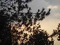 Ranting pinus yang sendu,keindahan alam from Wiki Loves Earth 2017 in Indonesia.jpg