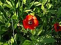 Ranunculus asiaticus001.jpg