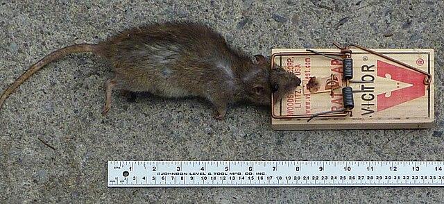 Potkan chytený v pasci - mechanická likvidácia