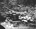 Ravenna Park foliage and stream, June 3, 1895 (SEATTLE 4596).jpg