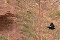 Red-Winged Blackbird in flight.jpg